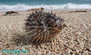 A blowfish on Penghu beach